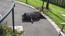 Runaway pig finds refuge at a Co. Durham care home