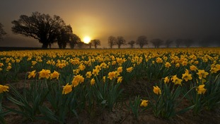 Daffodils in a misty sunrise at Salhouse, Norfolk