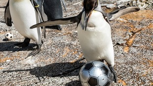 Penalty shoot-out at the penguin pen