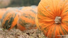 Staff said the seed was about two inches long and came from the biggest pumpkin seen so far.