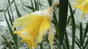 Snow-frosted daffodil in the garden