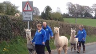 Alpaca crossing