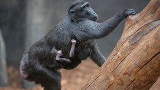 Amazing footage shows rare monkey born at Chester Zoo