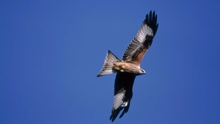 Red kite shot dead in Chopwell Wood