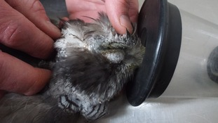 Gloucestershire goshawk shot in the head and killed