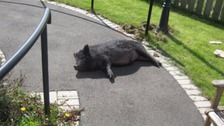 Black pig on a care home path