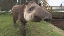 Alvez the Cumbrian Tapir packs his bags for pastures new