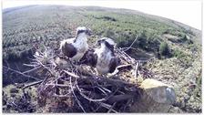 Kielder Ospreys on camera