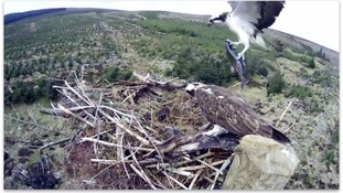 Kielder Ospreys on camera