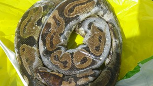 Appeal after three-foot dead python found in Valleys lake