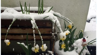 Daffodils covered in snow in Blacko, Lancashire.