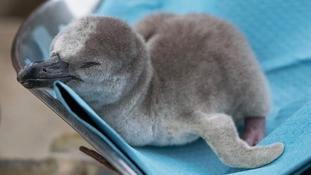 Humboldt penguin chicks hatch at north Wales zoo