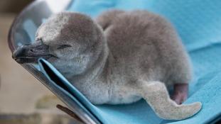 Humboldt penguin chick