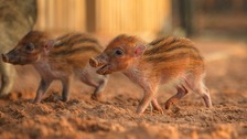 Critically endangered piglets born at Chester Zoo