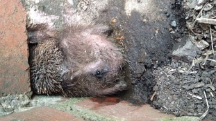 Hedgehog rescued after becoming stuck in cattle grid