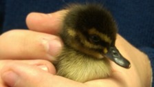 Stranded duckling rescued by builders