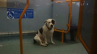 Staffordshire Bull Terrier nicknamed 'Bus-ter' abandoned on a London bus