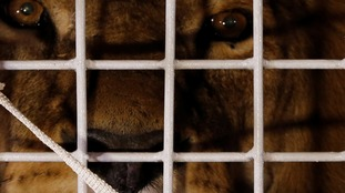 The lions were rescued from circuses in Peru and Columbia