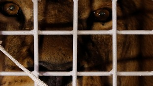 Rescued ex-circus lions begin new life at South Africa wildlife sanctuary