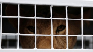A total of 33 lions were rescued in the operation