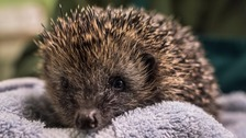 Dangerous time of year for hedgehogs