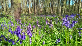 Bluebell Woods - where to find them in The Midlands