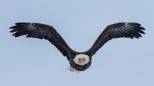 Bald eagles have a wingspan of around 2m