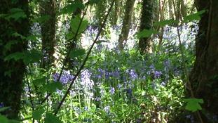 Carpet of bluebells near Plympton