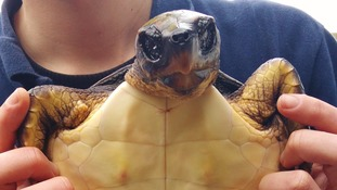 Stranded loggerhead turtle Tallulah soon after being rescued at Newquay's Blue Reef Aquarium