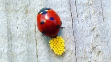 Suffolk ladybird eggs