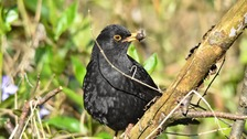 Caister-on-Sea Blackbird