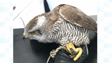 Buzzard rescued by RSPCA