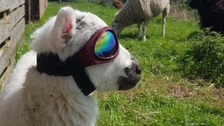 Lamb wears sunglasses to protect eyes