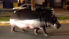 Daring hippo gives motorists a fright in bid for freedom