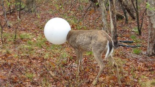 Oh dear: Deer gets its head stuck in a light globe