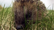 Schoolboy saves hedgehog from being kicked to death