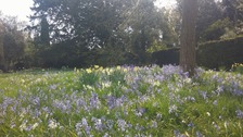 Spring flowers in bloom at Ickworth House near Bury St Edmunds in Suffolk.