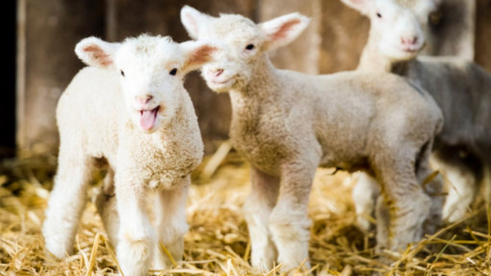 Police investigation launched after three newborn lambs ...