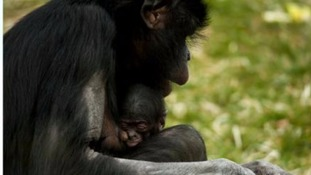 What should Twycross Zoo's new baby bonobo be called?