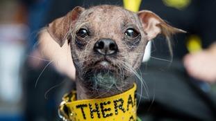 'World's Ugliest Dog' wins hero award