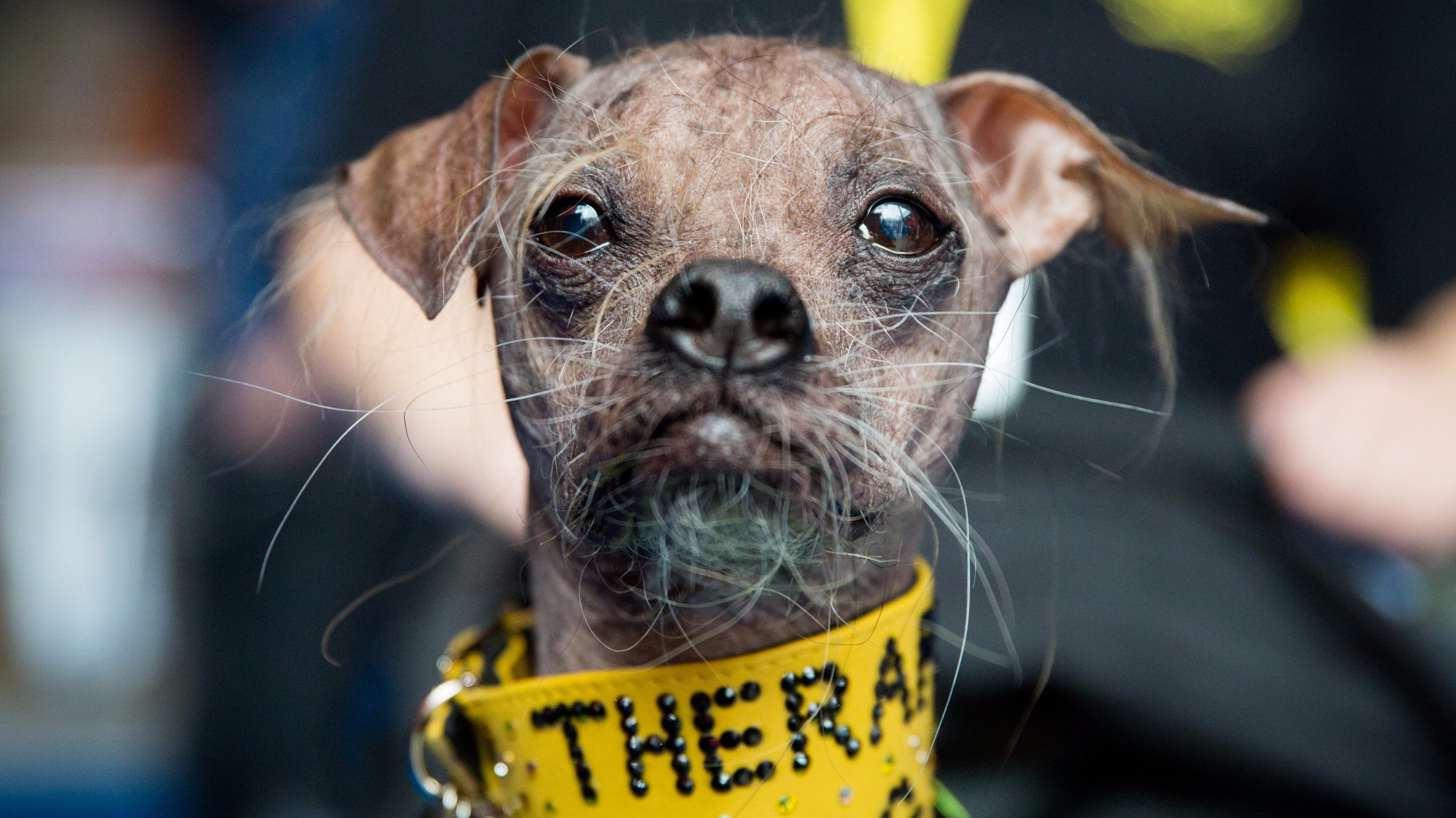 World S Ugliest Dog Wins Hero Award Itv News