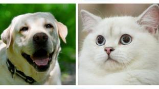 labrador and cat