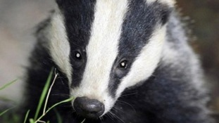 Government says results show badger culling reduces spread of disease