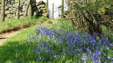 Bluebells on the Pennine Way near Winch Bridge in Teesdale by Carol Grey