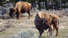 Park wardens say visitors should stay at least 25 metres away from bisons.