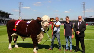 Hereford FC cleared to parade bull called Hawkesbury Ronaldo at Wembley