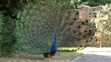 People in Beccles say rampaging peacocks are making their lives a misery
