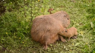 World's largest rodents spotted breeding in Chester