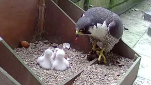 Peregrine chicks hatch at top of Salisbury Cathedral