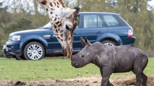 Baby rhino comes face to face with giraffe